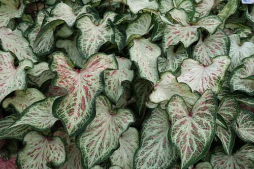 Candyland caladiums close up
