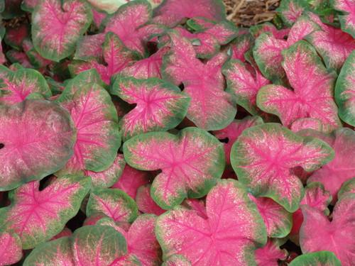 Close up of Classic Pink Caladiums