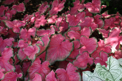 Flare caladiums planted in our garden