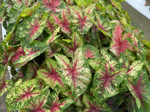 Flatter Me caladiums is part of the Heart to Heart™ series with Proven Winners