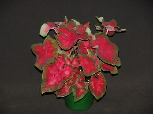 Freida Hemple caladiums in a pot
