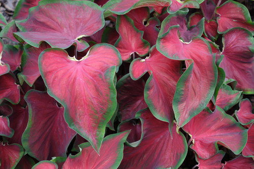 Hot 2 Trot caladiums, a new intro from Classic Caladiums
