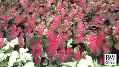 Heart to Heart™ Heart's Delight will make a great addition to your garden