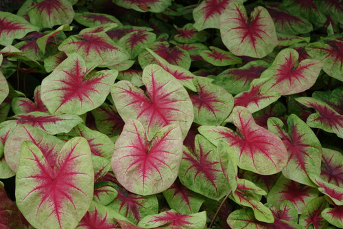 Lemon Blush caladiums is a new color look for caladiums.