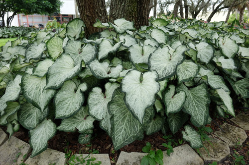 White Majesty caladiums is one of our tallest white strap caladiums and features even bigger leaves.