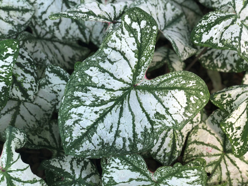 Monument caladiums feature a bright white center with a deep green margin