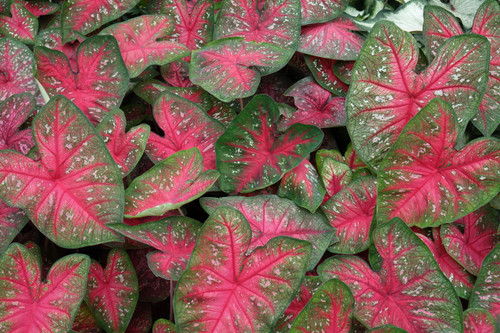 A bright pink color is one of the nice features on Party Punch caladiums