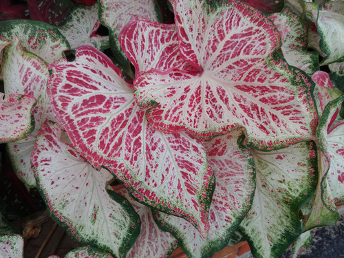 Different versions of Peppermint shown in one plant
