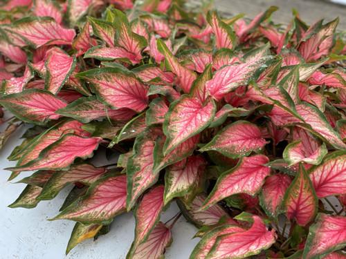 Pink Gem caladiums are a nice short pink caladium for your garden