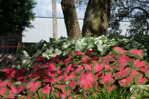 Posy Pink caladiums in the sunny and shady landscape.