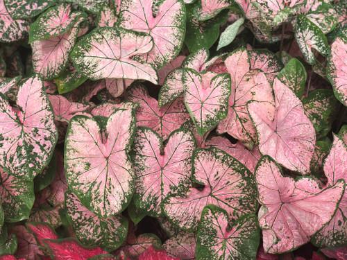 Pink Splash caladiums are the perfect soft pink caladiums  you need