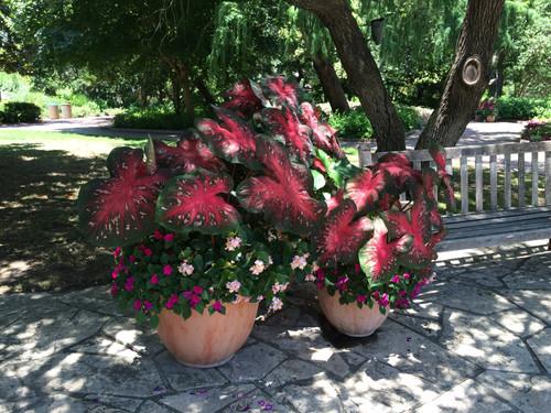 Plant Red Flash caladium bulbs in pots to create beautiful combo pots.