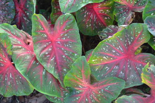 Red Flash caladiums - one of the most popular red caladiums