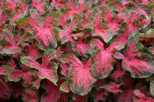 Restless Heart caladiums has an interesting new pattern for caladiums