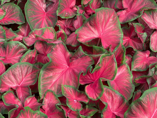 Rosemary caladiums are the perfect red caladium for your garden