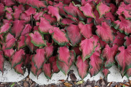Sangria can be used as a border caladium in your landscape