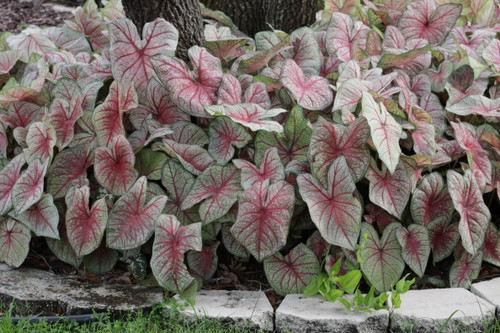Southern Charm caladiums - the perfect caladium for your garden.