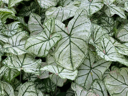 Heart to Heart™ Snow Drift Caladium makes a great addition to any garden
