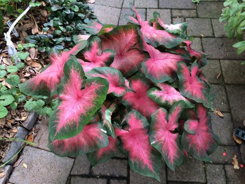 Similar to Kathleen caladium, Sunset Pink caladiums is a new variety from Classic Caladiums