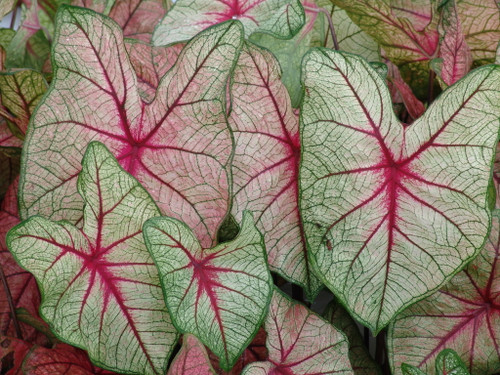 Popular caladium, White Queen makes is great for shade areas.
