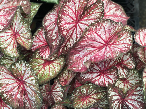 Heart to Heart Xplosion caladiums will make a unique statement in your garden.