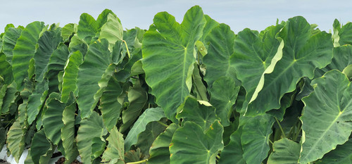 Colocasia Escuelenta ear bulbs - grown and available from Classic Caladiums