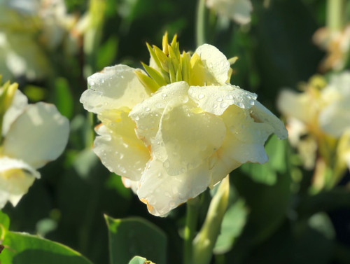 Alaska cannas - a soothing white bloom
