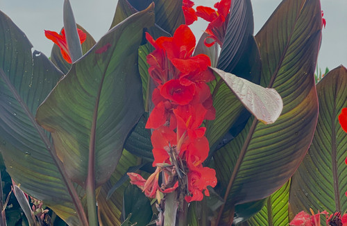 Atlantic Beauty cannas now available from Classic Caladiums