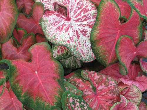 Mixed Pink caladiums