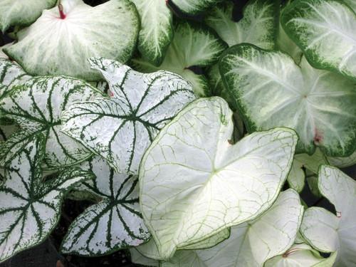 Mixed White caladiums