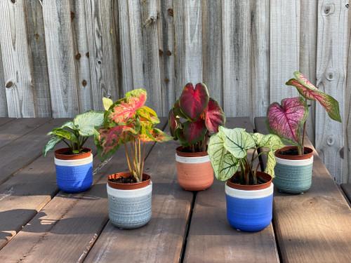Assorted live caladium plants from Classic Caladiums