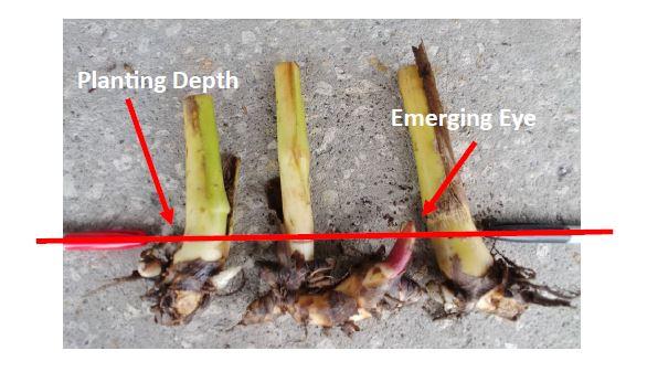 canna-planting-depth-rhizome.jpg