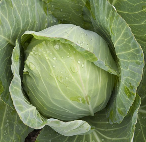 2021 SEEDS, CABBAGE, GREEN GOLDEN ACRE