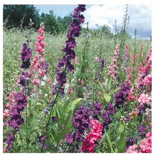 2020 SEEDS, LARKSPUR GALILEE BLEND