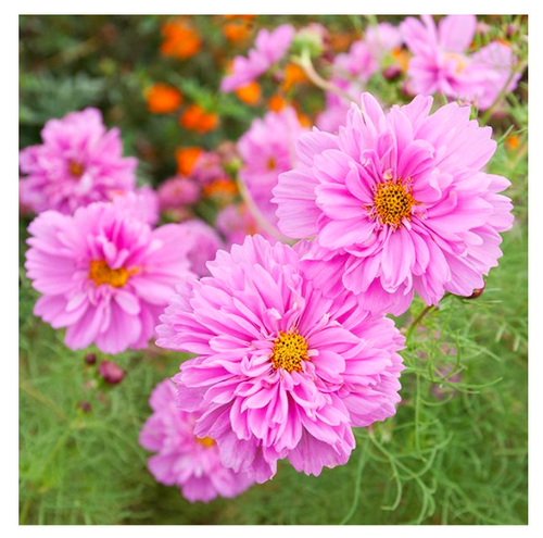 2020 SEEDS, COSMOS, DOUBLE CLICK BLEND