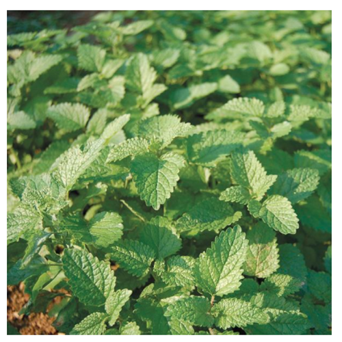 2020 SEEDS, LEMON BALM