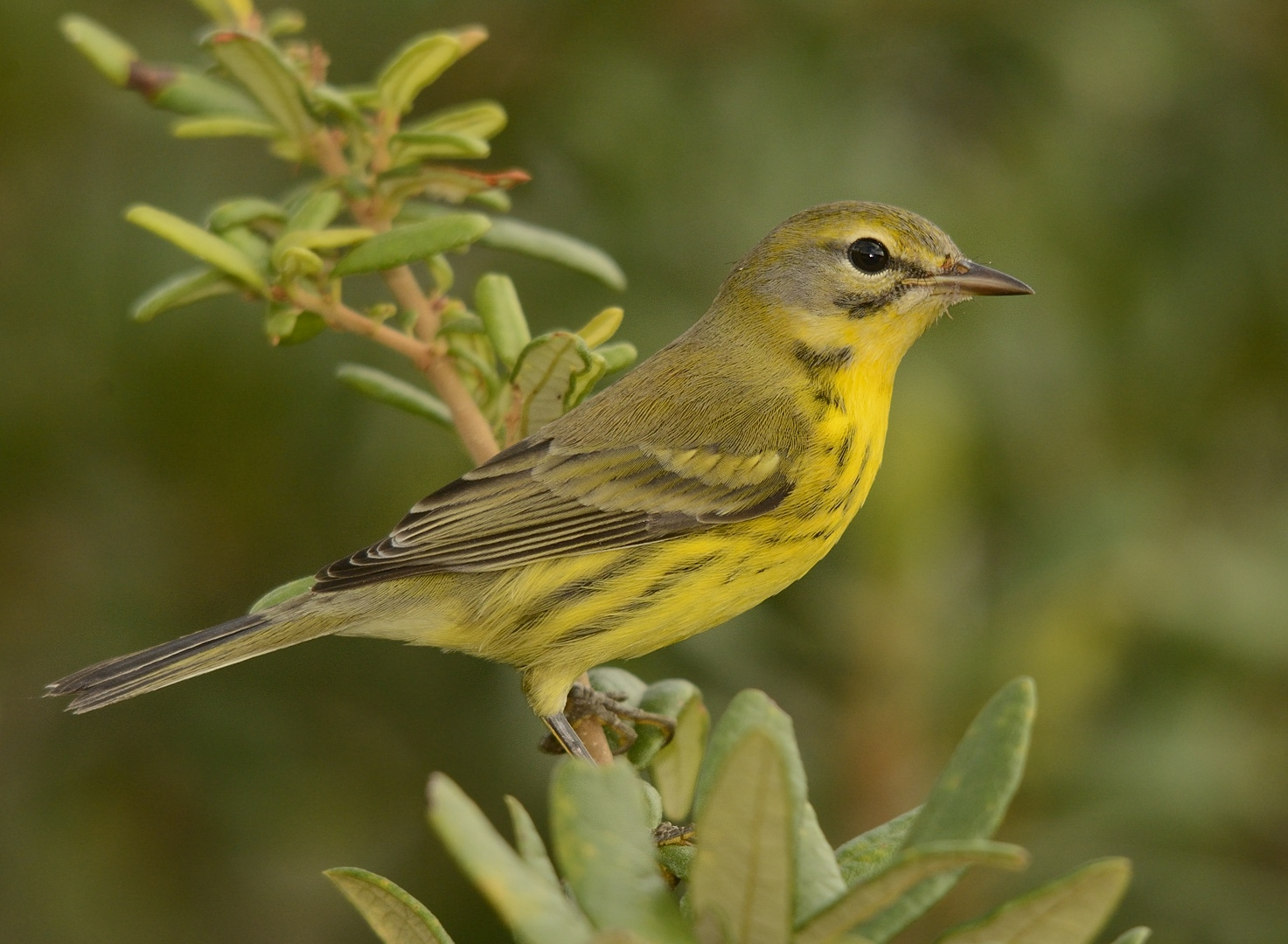 backman-s-warbler-everglades-tours.jpg