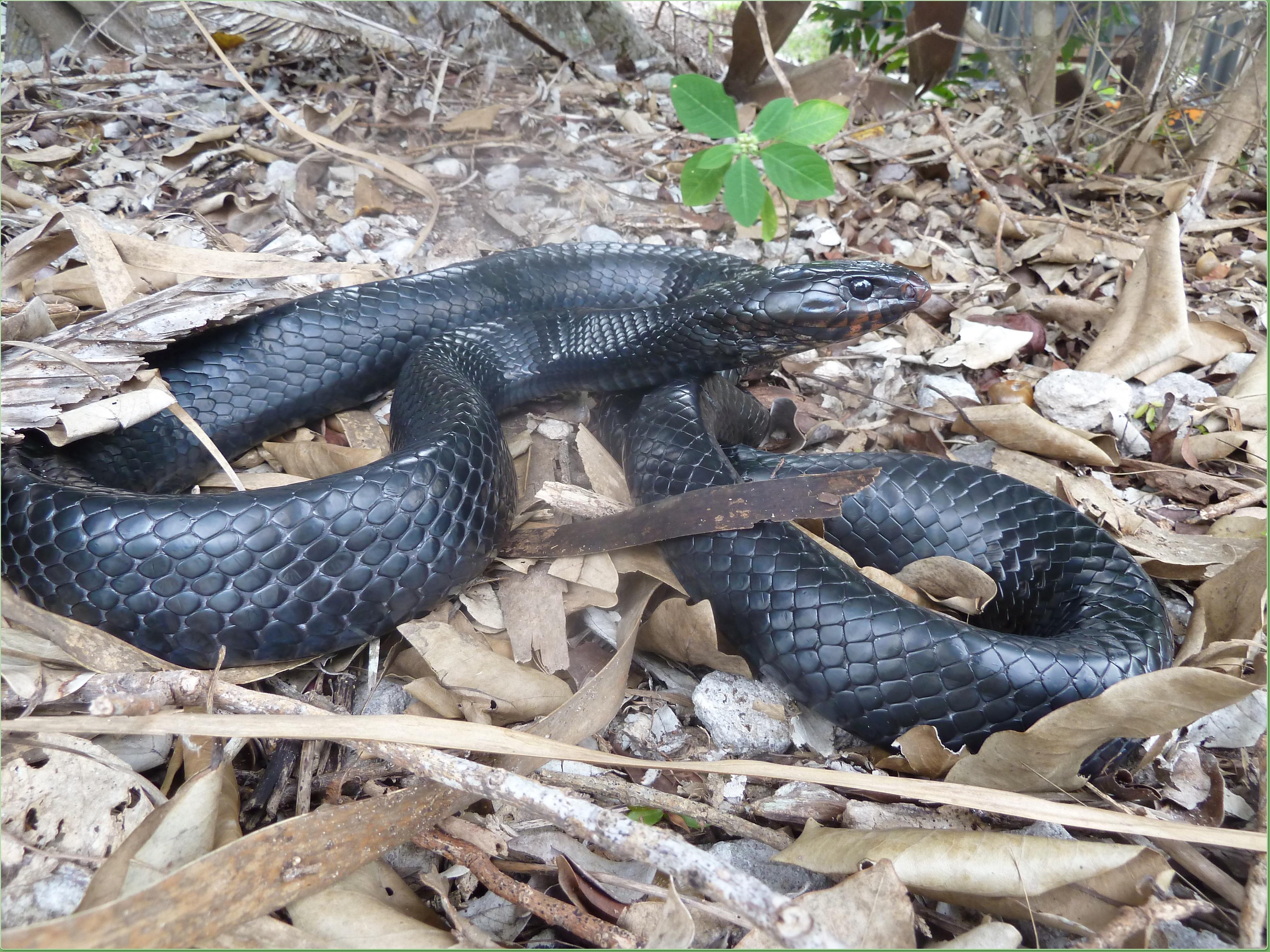 eastern-indigo-snake-florida-everglades.jpg