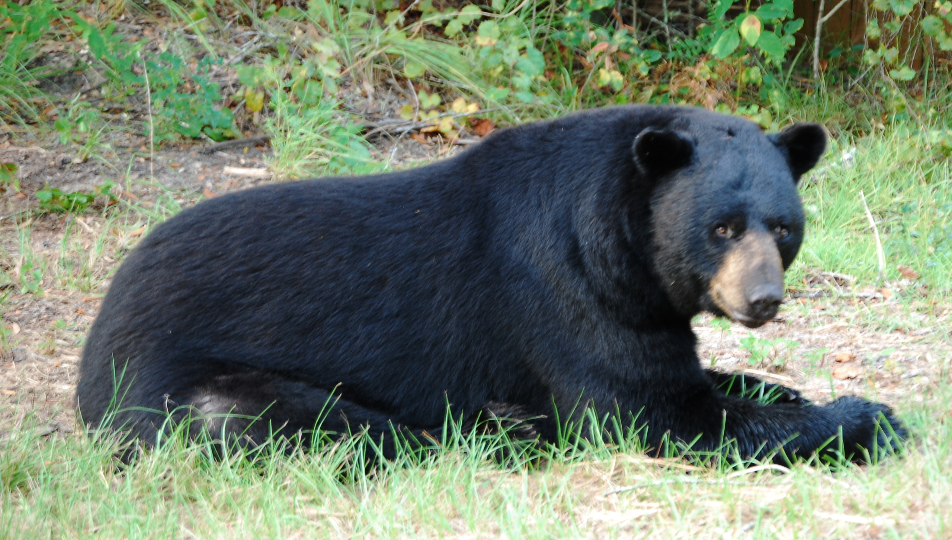 florida-black-bear.jpg