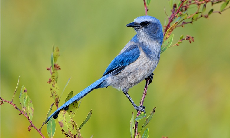 florida-scrub-jay-everglades-tours.jpeg