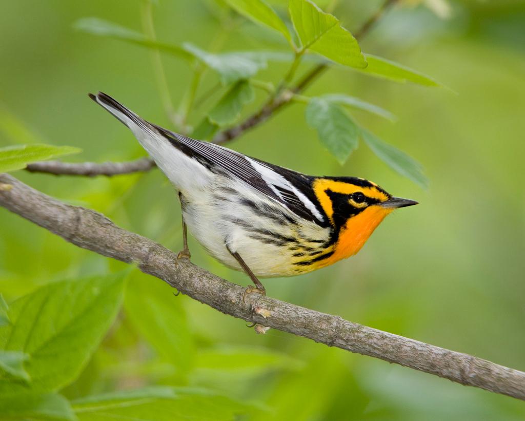 kirkland-warbler-everglades-tours.jpg