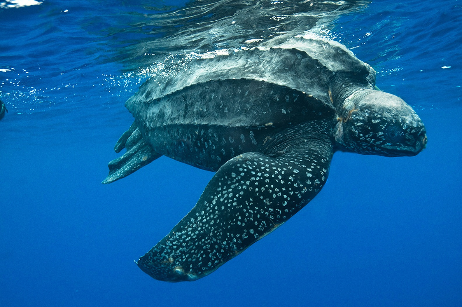 leatherback-sea-turtle-florida-everglades.jpg