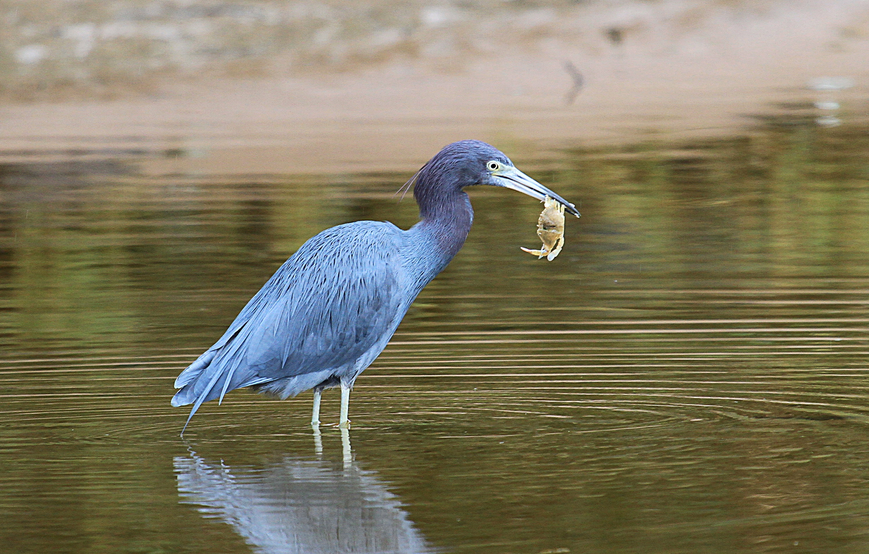 little-blue-heron-everglades-tours.jpg