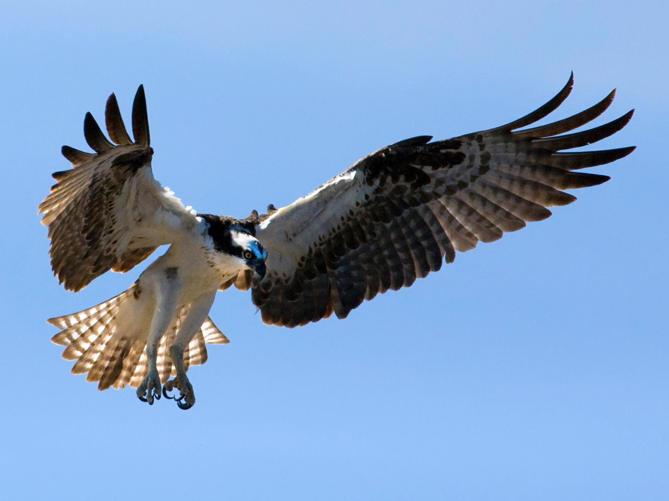 osprey-adult-on-nest-wow.jpg