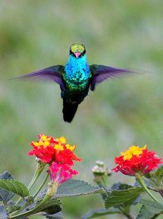 pigeon-wings-plant.jpg