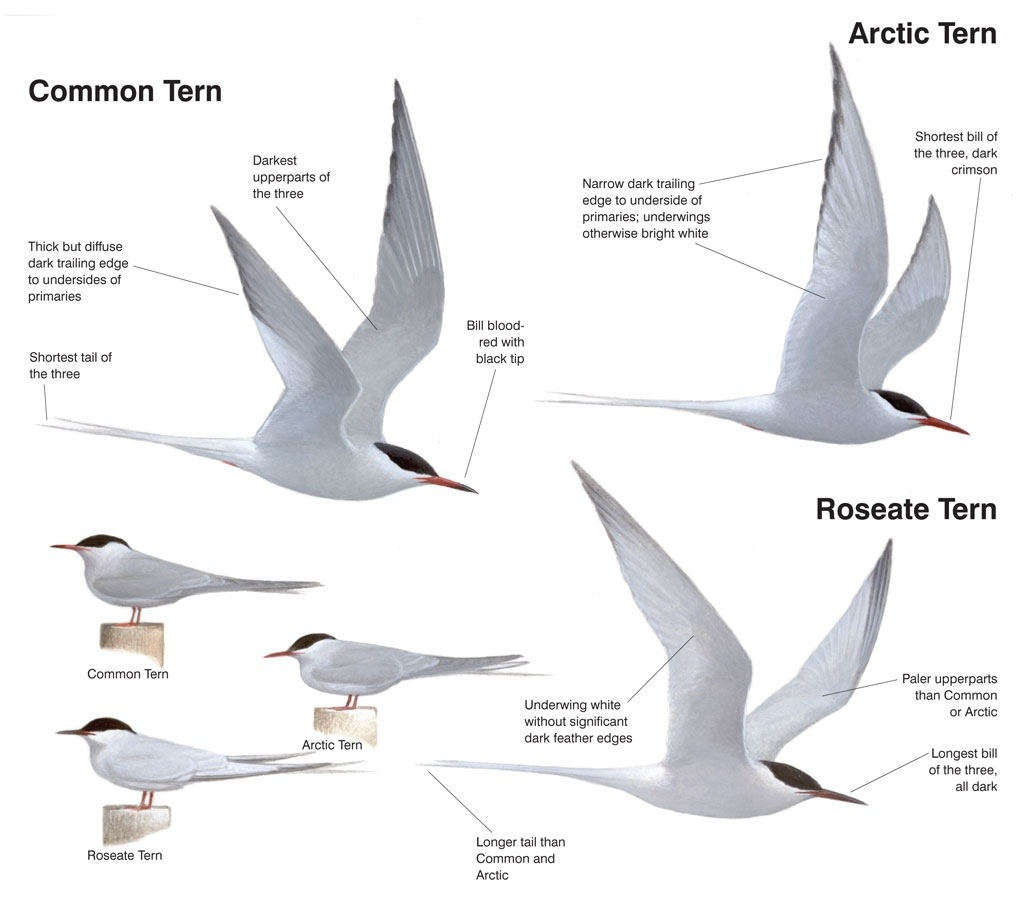 roseate-tern-bird-relatives-everglades-tours.jpg