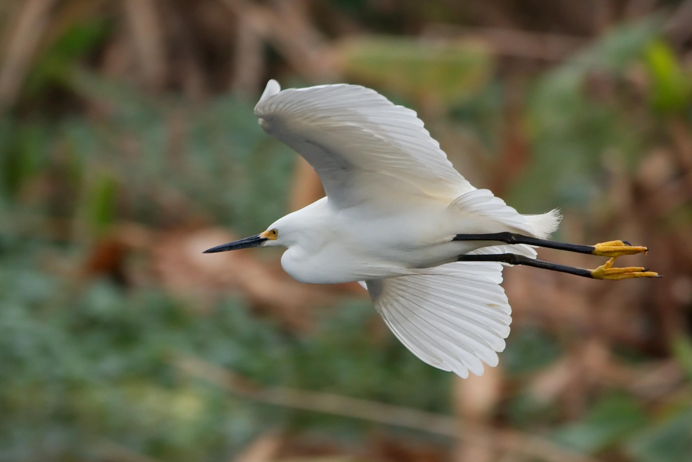 snowy-egret-everglades-tour.jpg