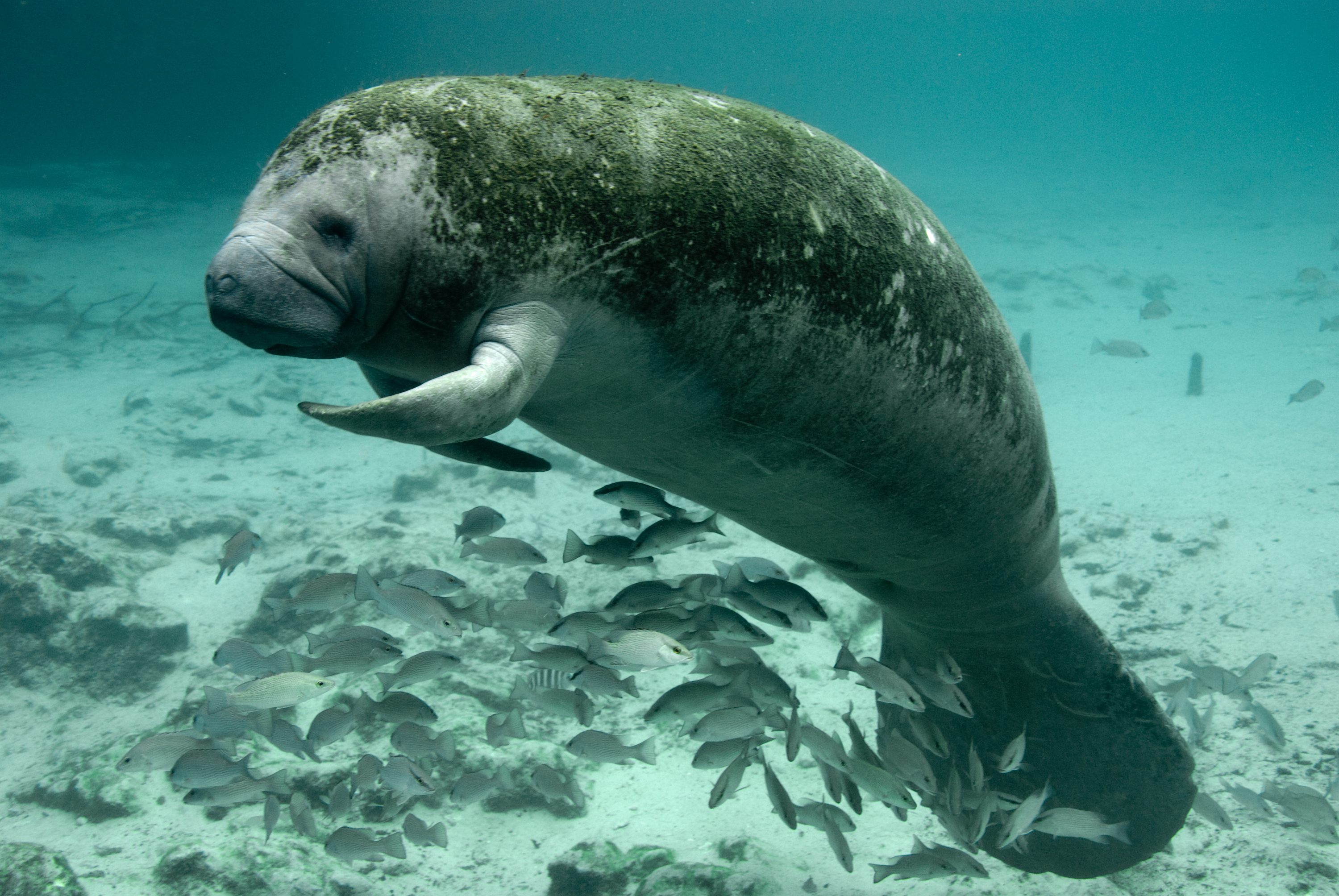 west-indian-manatee-everglades-everglades.jpg