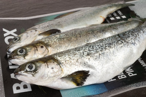 Salmon Smolt Pack of 3
