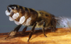 Beeswax is special stuff - it comes right out the honeybee's body!
